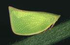 <i>Siphanta acuta</i> (Walker), type species of <i>Siphanta</i>.
