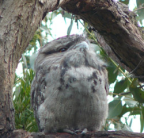 Juvenile Tawny Frogmouth, Melbourne