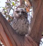 Fledgeling, Australian National Botanic Gardens